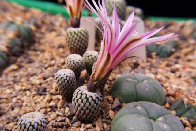 Turbinicarpus pseudpectinatus