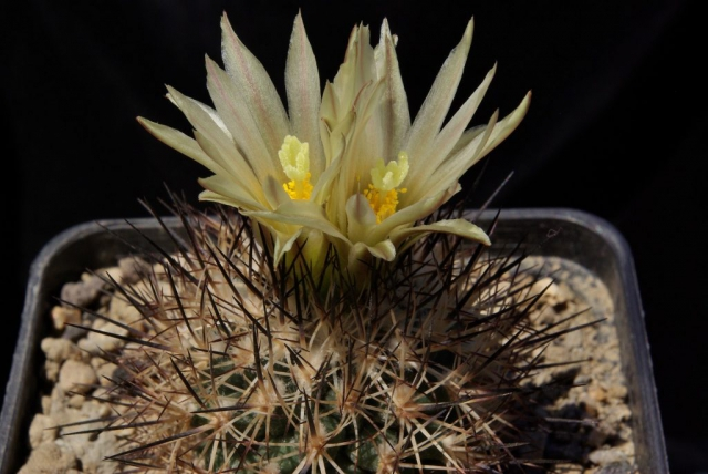 Turbinicarpus beguinii ssp.hintoniorum