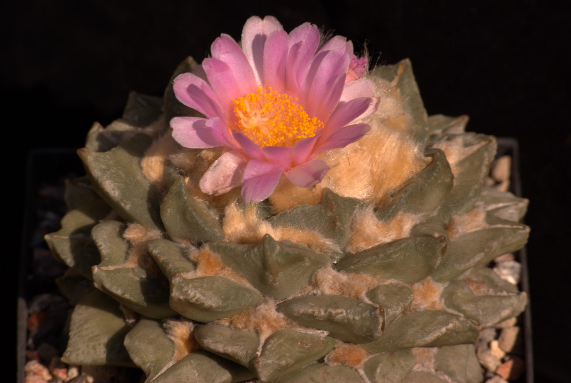 Ariocarpus intermedius