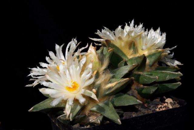 Ariocarpus pectinatus