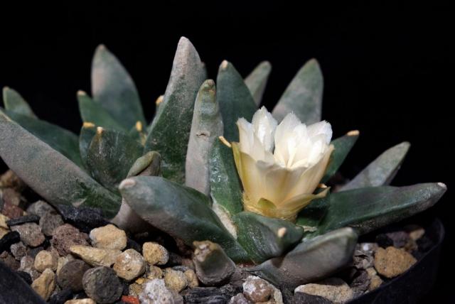 Ariocarpus retusus ssp.scapharostroides