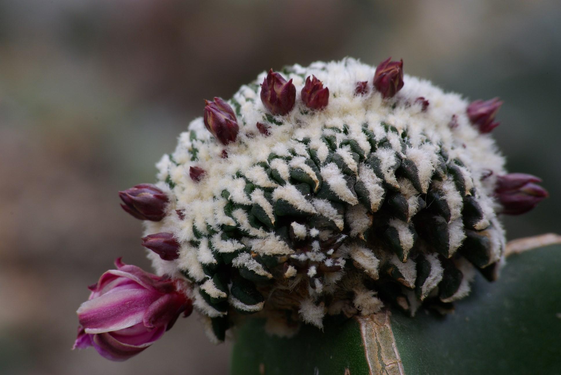 Ariocarpus kotschoubeyanus Cristat