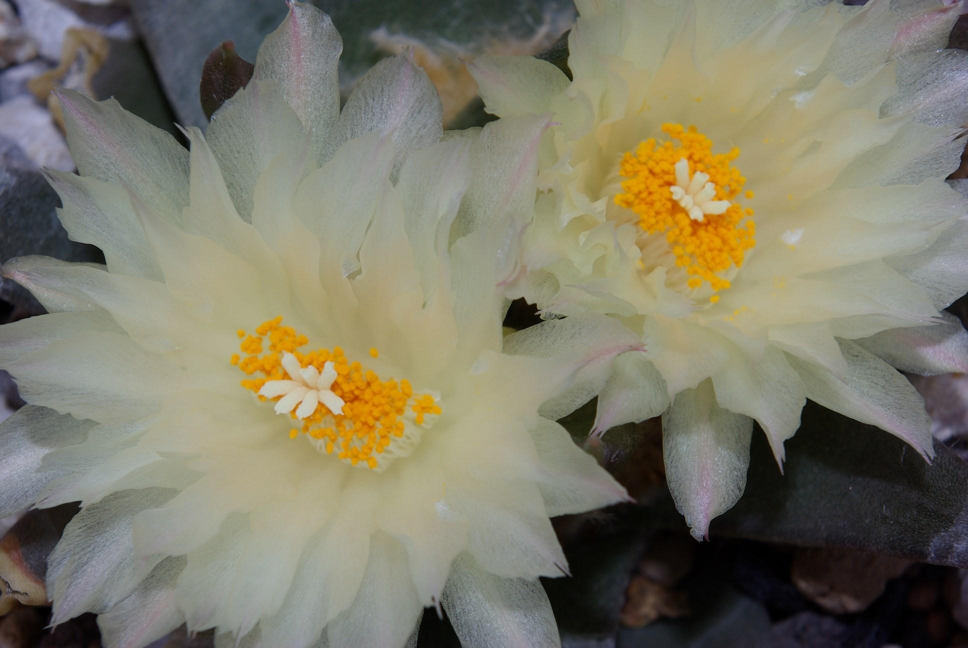 Ariocarpus trigonus var. minor
