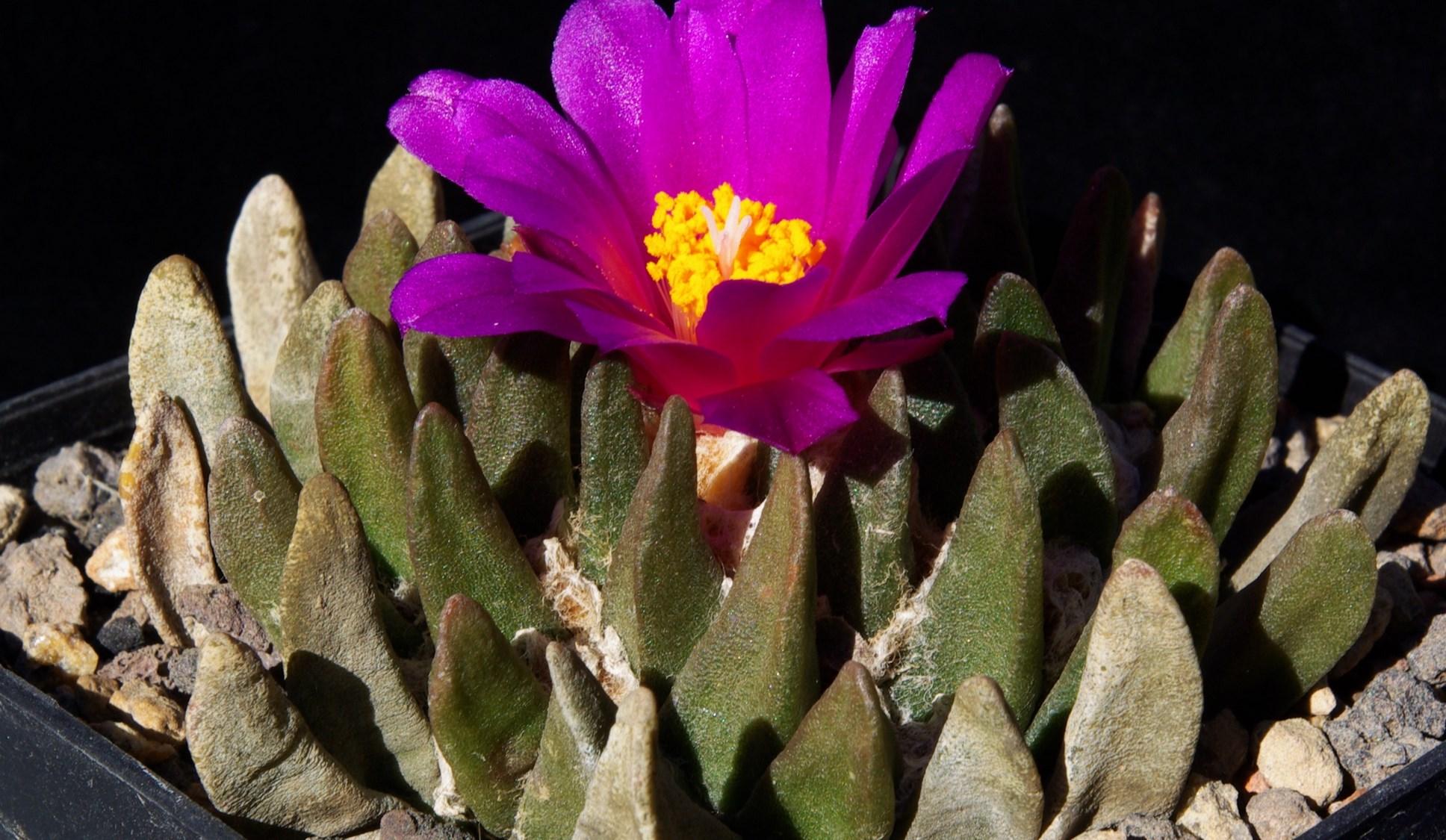Ariocarpus scapharostrus