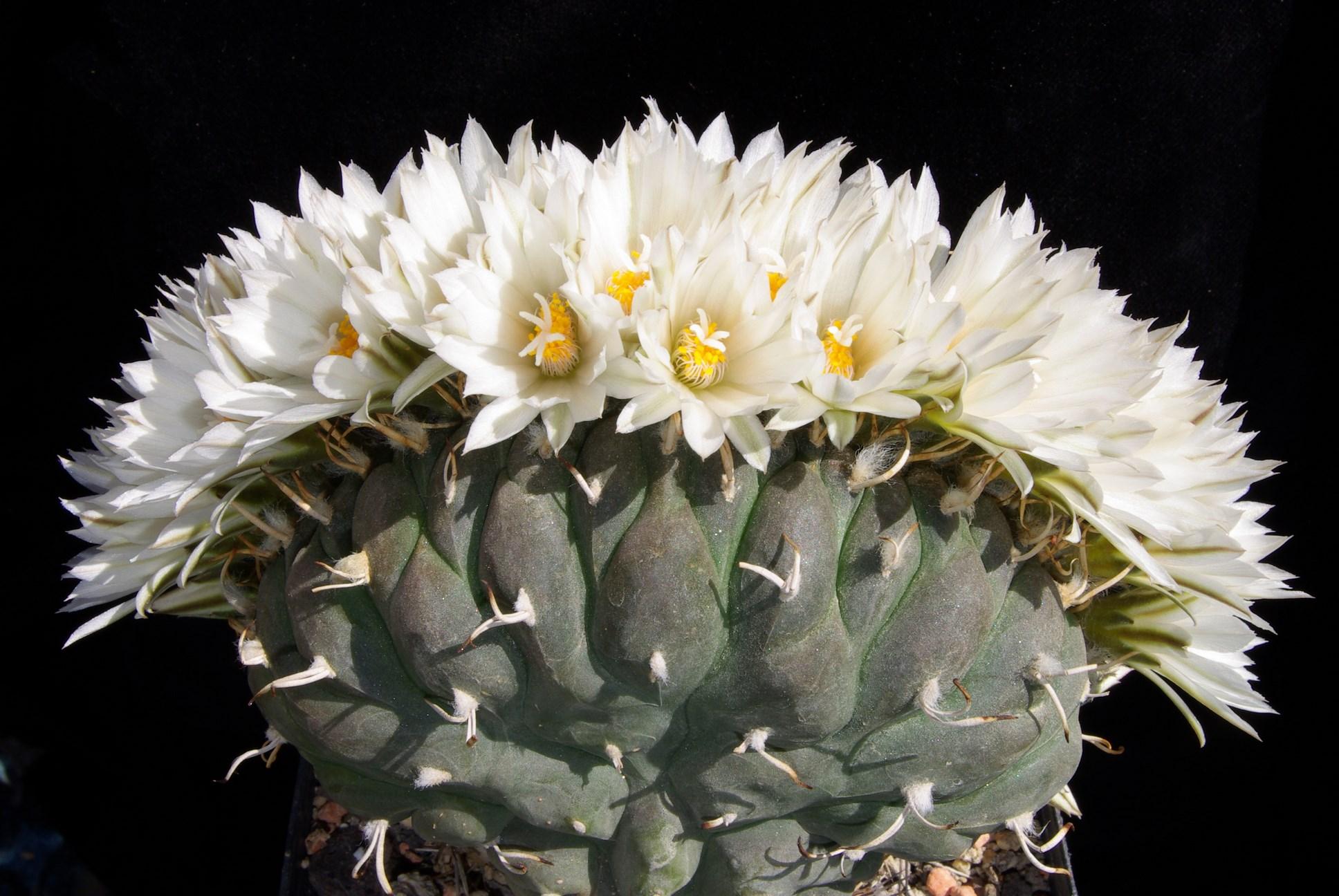 Echinomastus mariposensis
