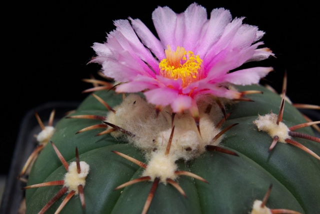 Echinocactus horizonthalonius Mammaleon N.L.