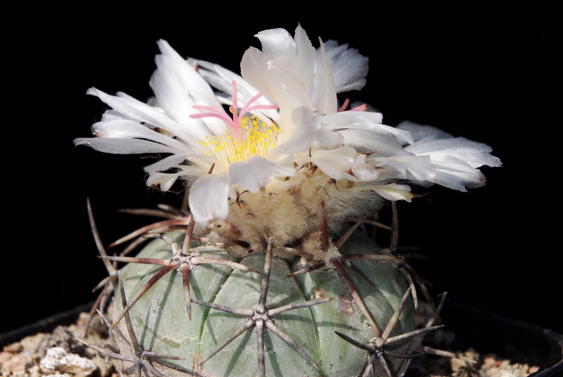 Echinocactus horizonthalonius km71 Dr.Arroyo