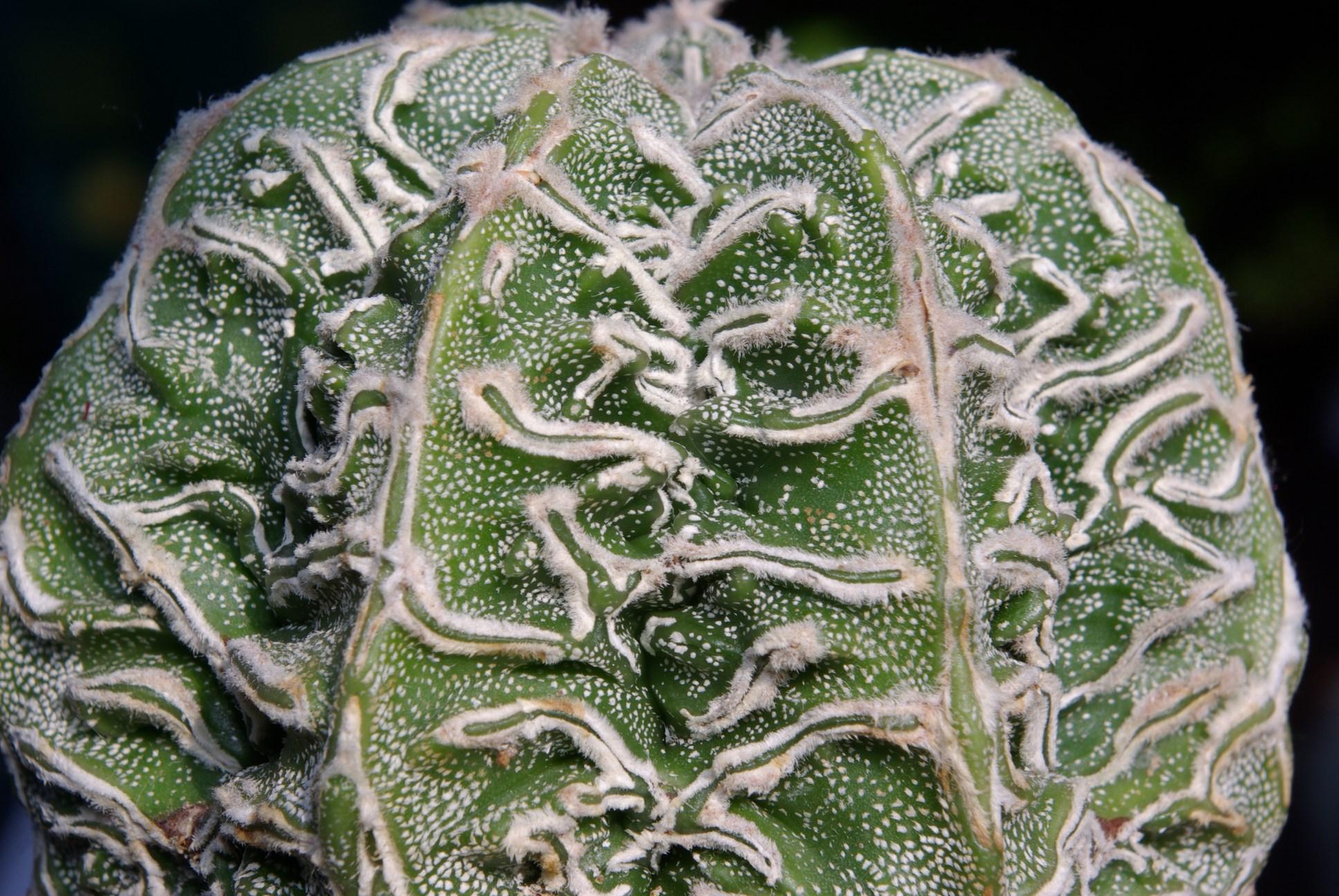 Astrophytum asterias cv. FUKURYU