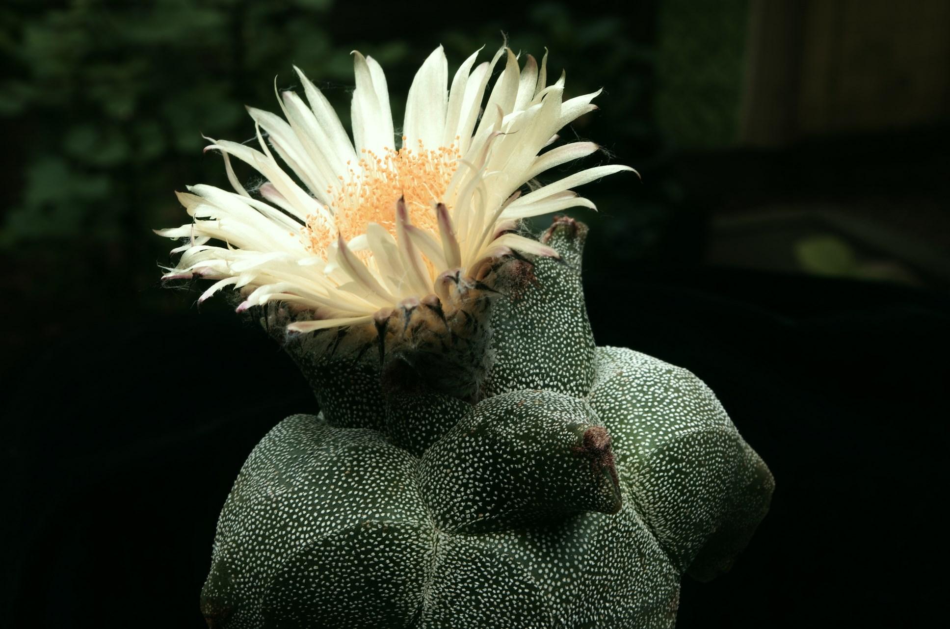 Astrophytum miriostigma cv. ZIPFELMÜTZE