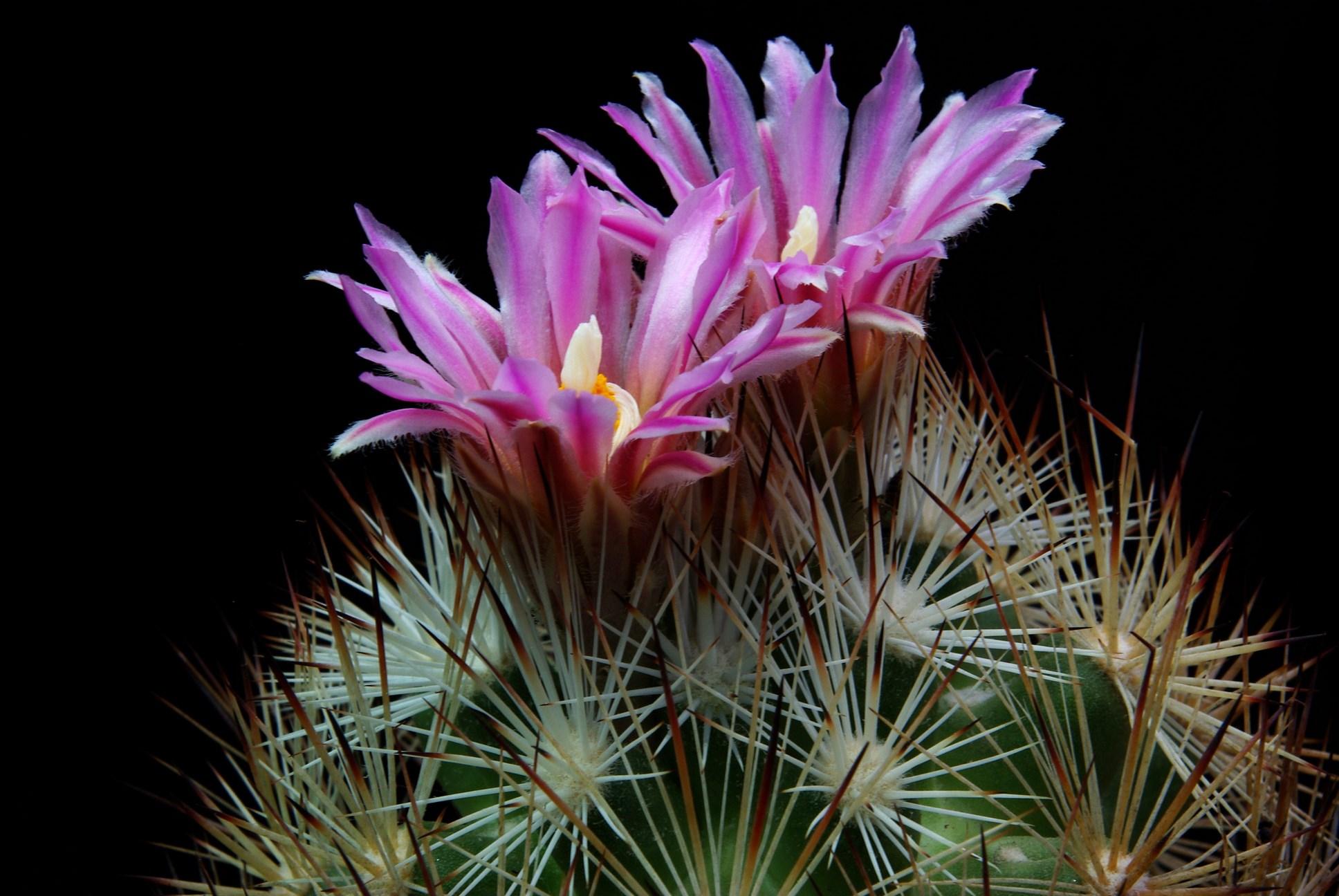 Escobaria alversonii