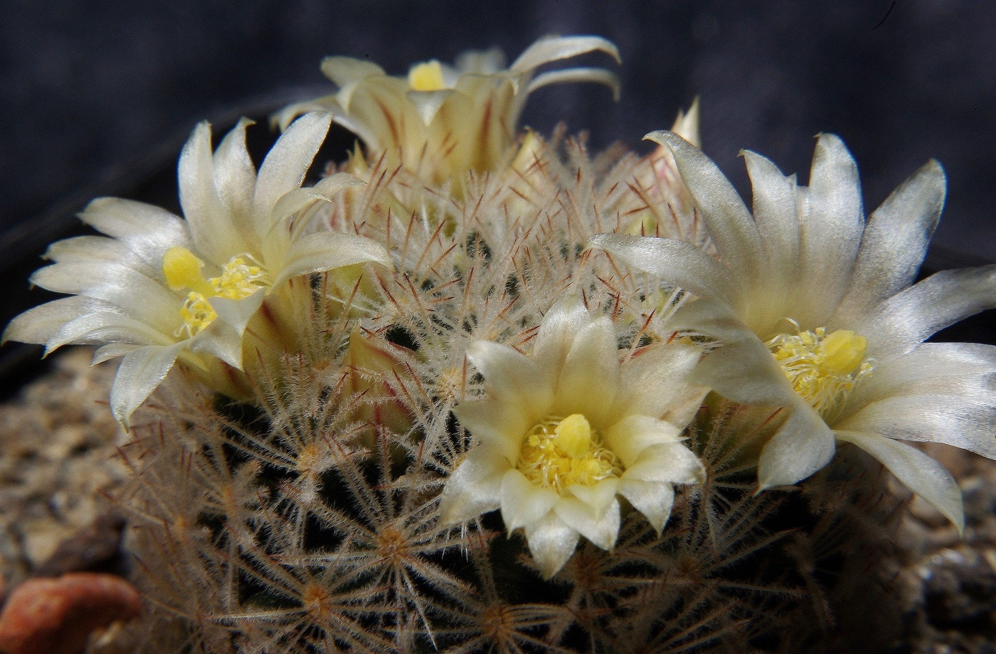 Mammillaria rischeri