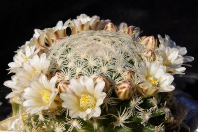 Mammillaria roemeri