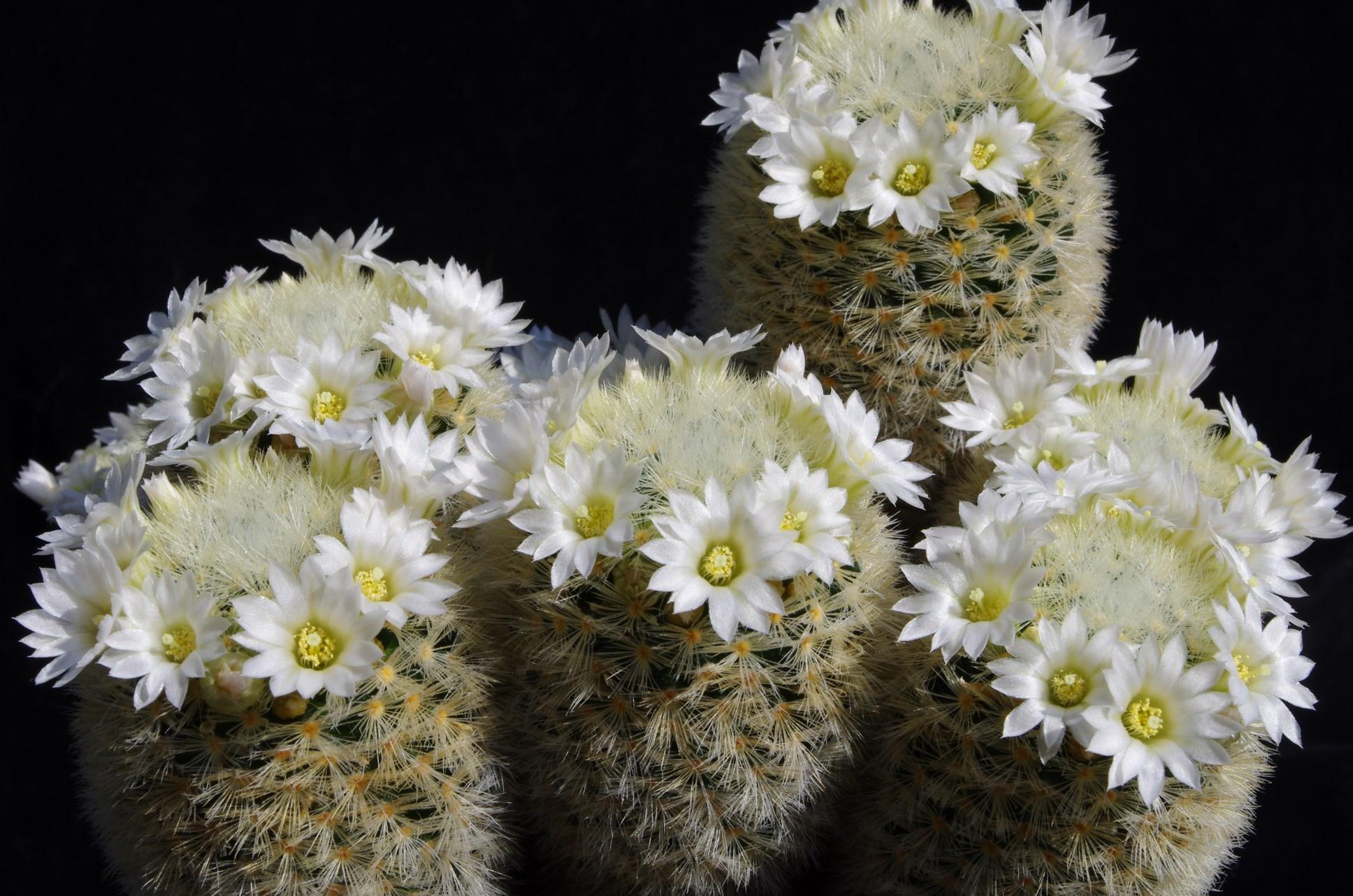 Mammillaria gieselae