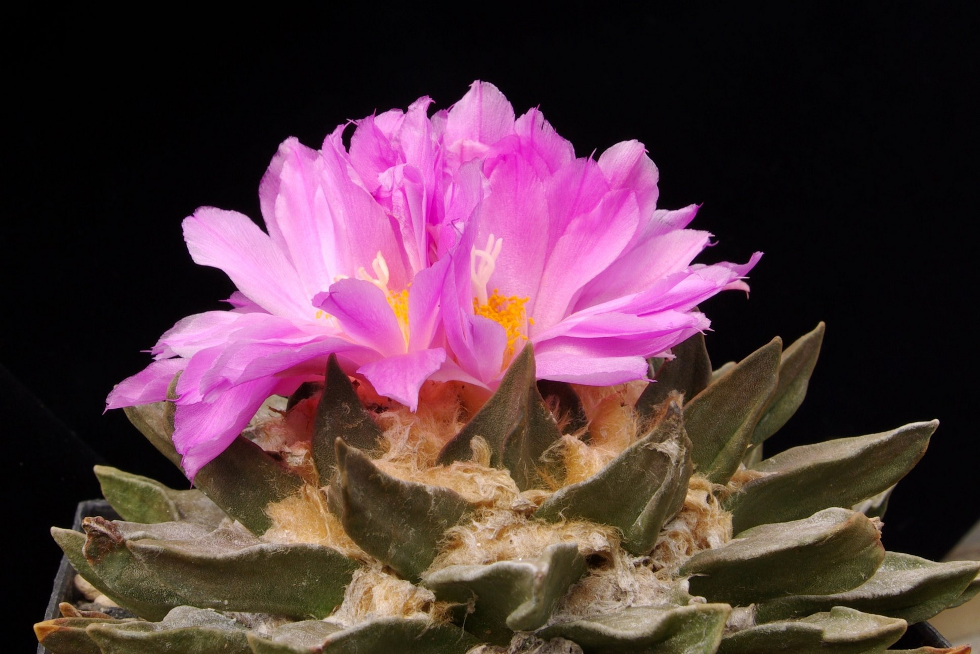 Ariocarpus spec. Rai.