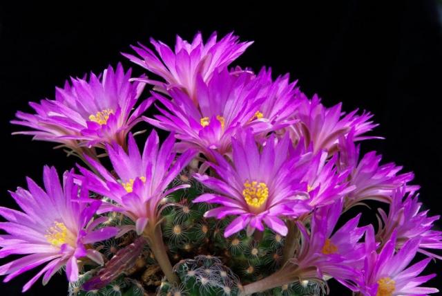 Mammillaria saboae ssp. roczekii